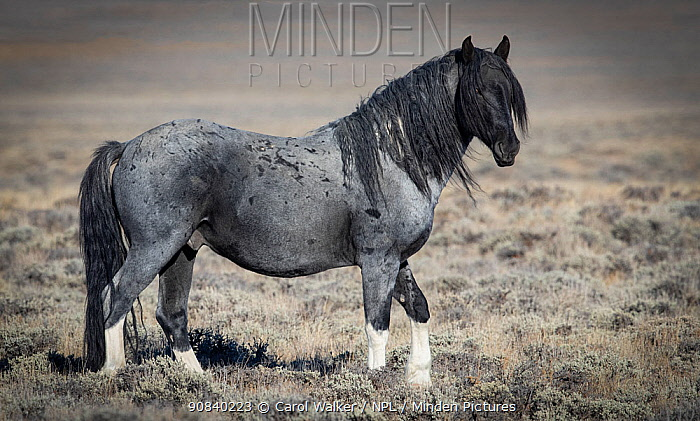 Mustang horse blue roan stallion standing in grassland. Red Desert Complex, Wyoming, USA. October.
