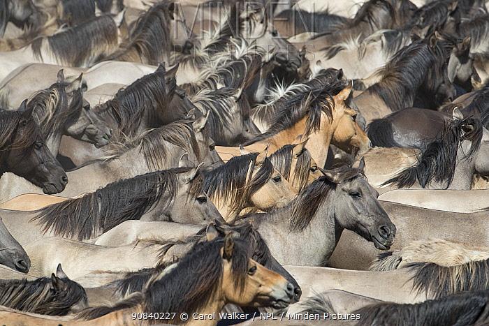 Dulmen ponies , wild mares and foals running together at roundup. Dulmen, North Rhine-Westphalia, Germany.