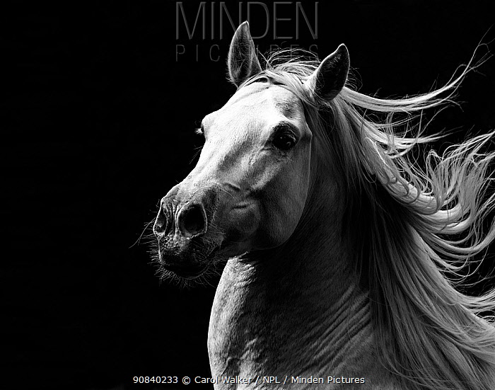 RF - Andalusian horse stallion running with mane flowing, portrait. Germany. (This image may be licensed either as rights managed or royalty free.)