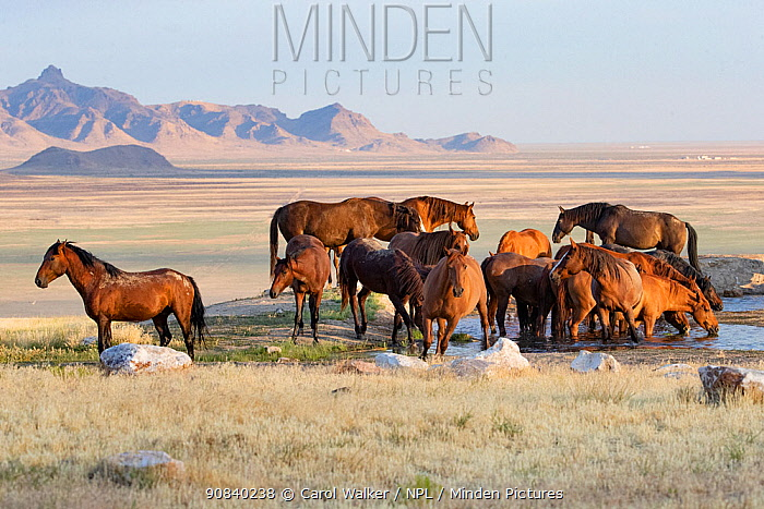 Mustang horse herd at waterhole, mountains in background. Onaqui Mountain Wild Horse Management Area, Utah, USA. July 2018.