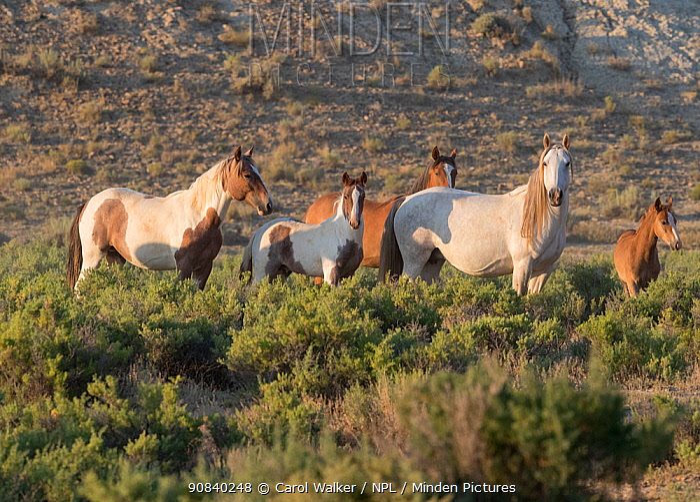 Mustang herd including mares and foals, in evening light. Salt Wells Creek Herd Management Area, Wyoming, USA. July 2016.