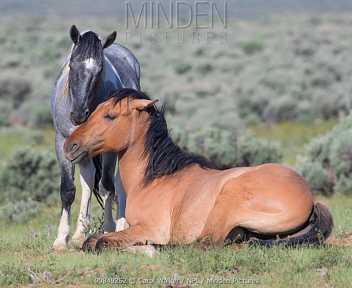 RF - Mustang horse, dun mare and blue roan foal nuzzling. Sand Wash Basin Herd Management Area, Colorado, USA. (This image may be licensed either as rights managed or royalty free.)