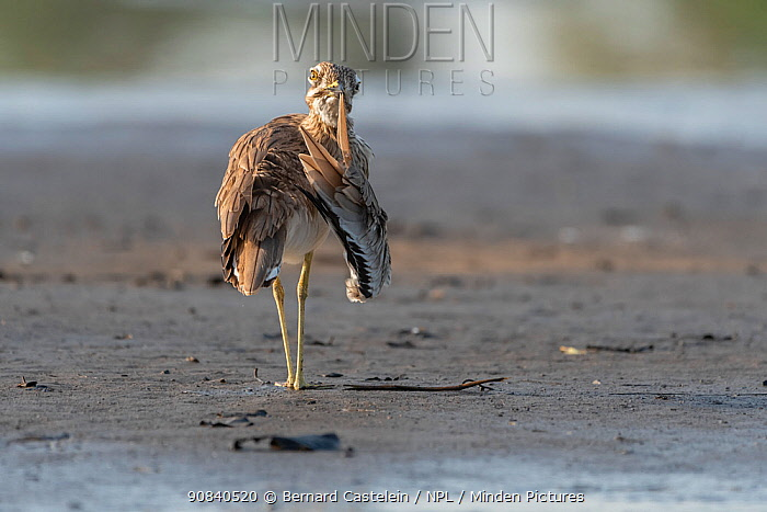 Senegal thick-knee (Burhinus senegalensis) preening on riverbank. Allahein River, Gambia.