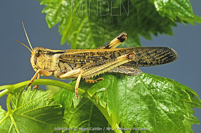 An adult winged migratory locust (Locusta migratoria) agricultural crop pest on a leaf