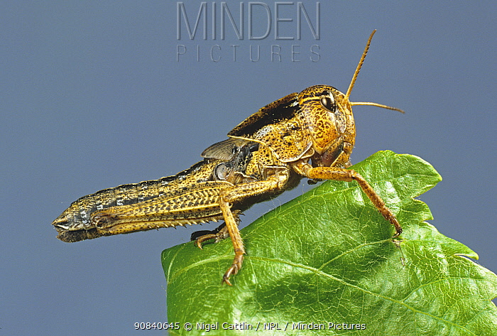 A nymph or hopper of migratory locust (Locusta migratoria) agricultural crop pest on a leaf