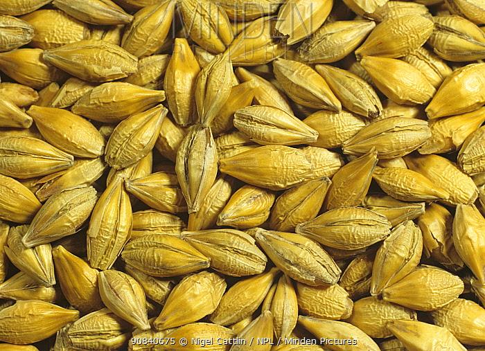 Barley grain or seed( Hordeum vulgare)