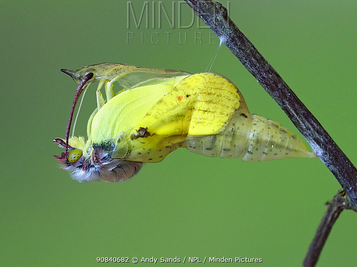 Brimstone butterfly (Goneopteryx rhamni) male emerging from pupa, Hertfordshire, England, UK, May - Captive