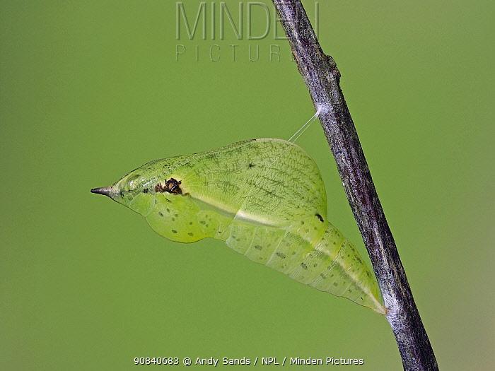 Brimstone butterfly (Goneopteryx rhamni) pupa Hertfordshire, England, UK, May - Focus Stacked