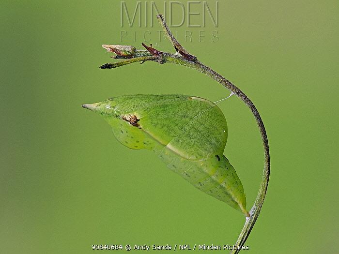 Brimstone butterfly (Goneopteryx rhamni) pupa, Hertfordshire, England, UK, May - Focus Stacked