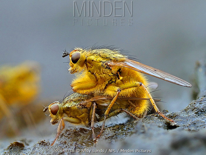 Yellow dung flies (Scathophaga stercoraria) mating pair on cow dung, Hertfordshire, England, UK, April - Focus Stacked