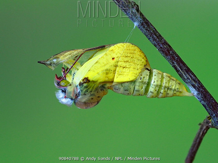 Brimstone butterfly (Goneopteryx rhamni) pupa showing wing colour of Male about to emerge, Hertfordshire, England, UK, May. Captive. Focus Stacked