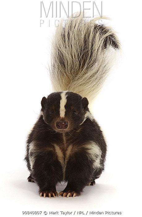 Striped skunk (Mephitis mephitis), captive, occurs in North America.