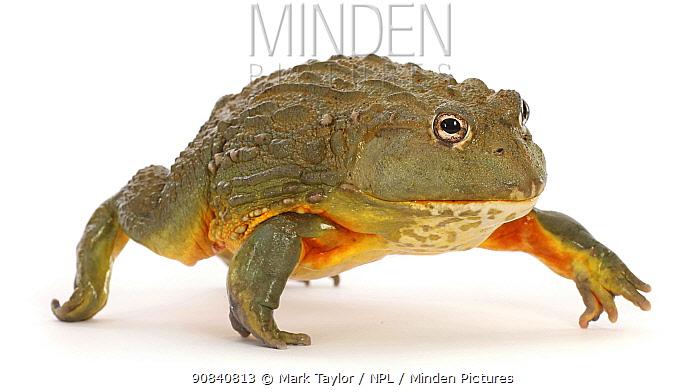 African bullfrog (Pyxicephalus adspersus), walking. Captive, occurs in Africa.