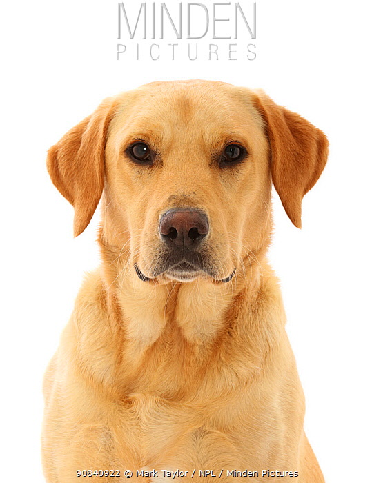 RF - Yellow Labrador Retriever dog. (This image may be licensed either as rights managed or royalty free.)