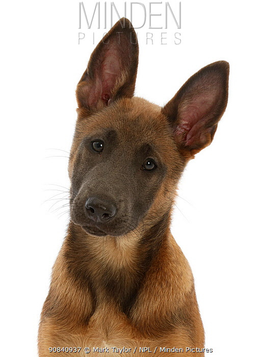 RF - Fawn and blue Belgian Shepherd Dog (Malinois) pup, age 12 weeks. (This image may be licensed either as rights managed or royalty free.)