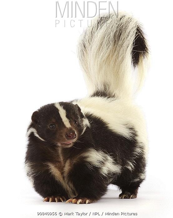 Striped skunk (Mephitis mephitis). Captive, occurs in North America.
