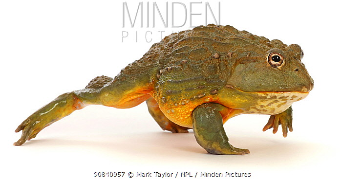 RF - African bullfrog (Pyxicephalus adspersus), walking. Captive, occurs in AFrica. (This image may be licensed either as rights managed or royalty free.)
