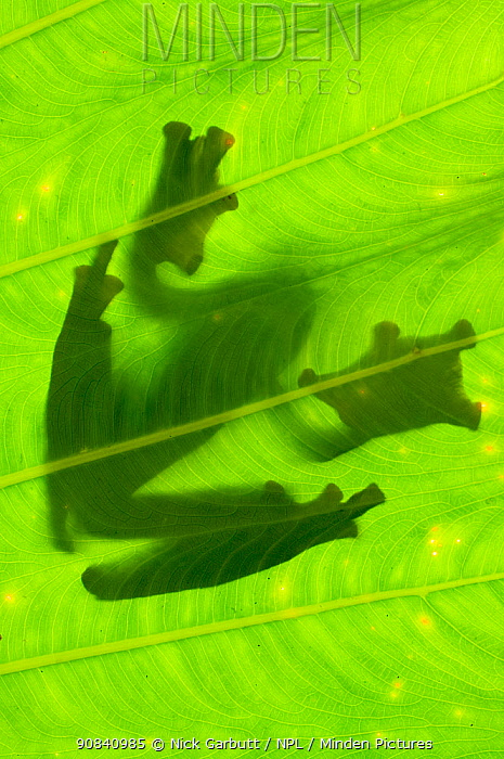 Silhouette of Wallace's Flying Frog (Rhacophorus nigropalmatus) on palm leaf. Danum Valley, Sabah, Borneo.