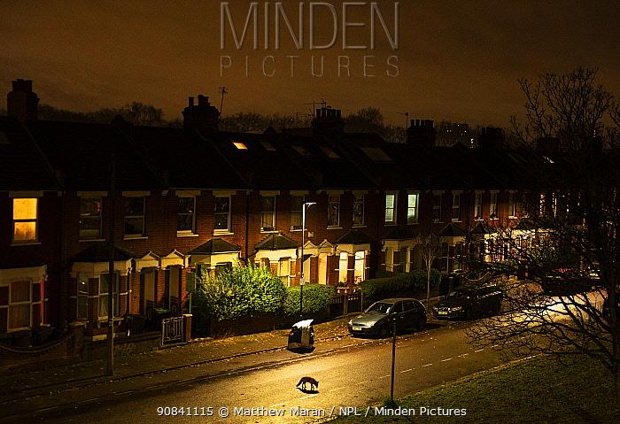 Fox (Vulpes vulpes) moving through its territory at night, North London, England, UK. December.