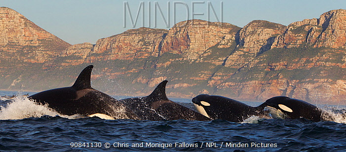Orca (Orcinus orca) pod hunting common dolphin (Delphinus delphis) False Bay, South Africa.