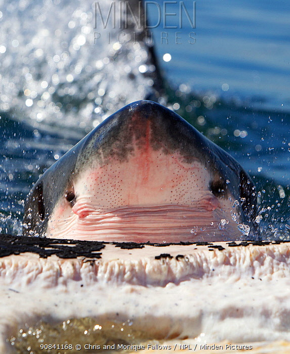 Great white shark (Carcharodon carcharias) feeding on Brydes whale carcass (Balaenoptera brydei), Seal Island, False Bay South Africa.