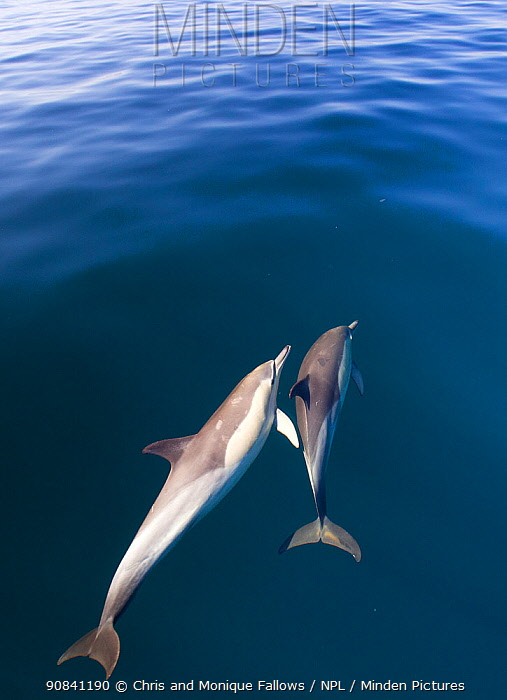 Common dolphins (Dephinus delphis) swimming near surface, False Bay, Cape Town, South Africa.