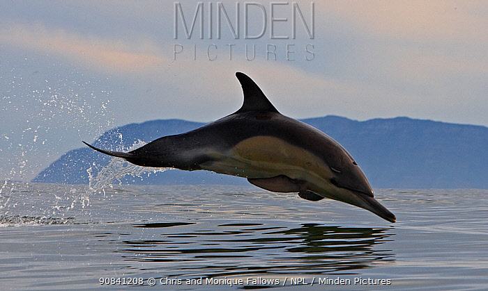 Common dolphin (Dephinus delphis) porpoising, False Bay, Cape Town, South Africa.