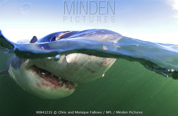 Great white shark (Carcharodon carcharias) near surface, Seal Island, False Bay, South Africa.
