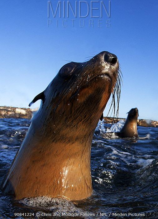 Cape fur seal (Arctocephalus pussilus) portrait, at water surface, Seal Island, False Bay, Cape Town, South Africa.