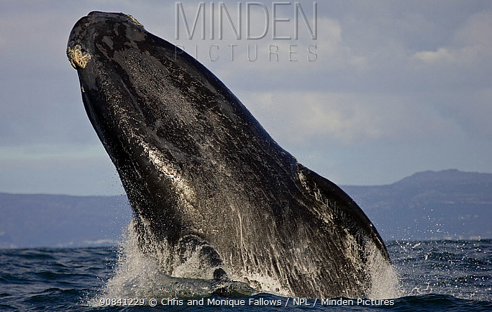 Southern right whale (Eubalaena australis) breaching, False Bay, Cape Town, South Africa.