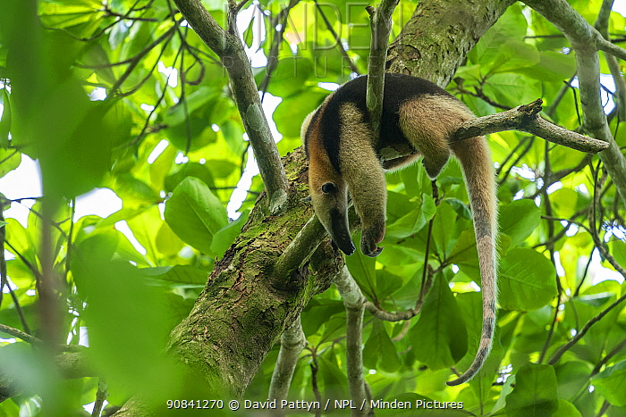 Northern tamandua (Tamandua mexicana) sleeping in a tree Corcovado National Park, Osa Peninsula, Puntarenas Province, Costa Rica