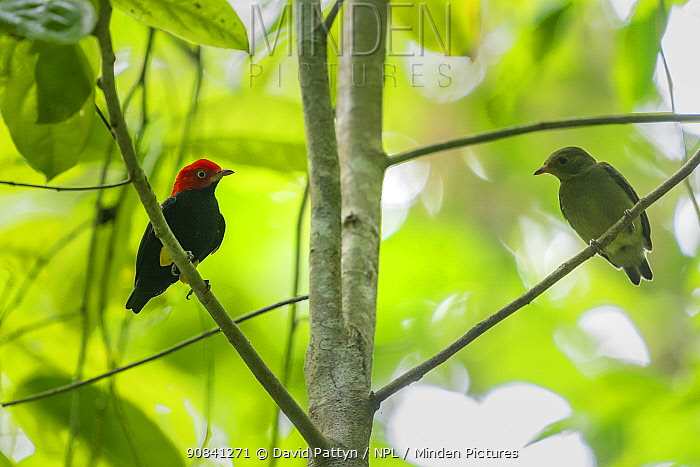 Red-capped Manakin (Pipra mentalis) couple in a tree Corcovado national park, Osa peninsula July