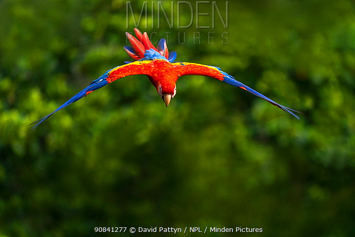 Scarlet Macaw (Ara macao) in flight over the rainforest Corcovado National Park, Osa peninsula, Costa Rica