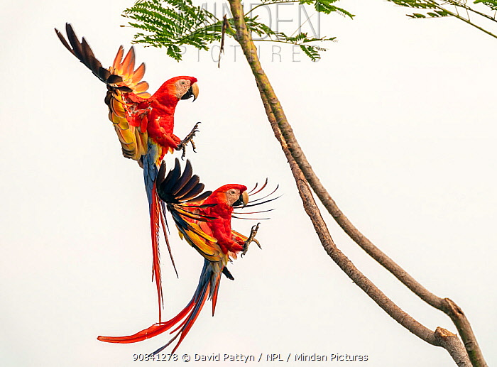 Scarlet Macaw (Ara macao) pair in flight and breaking to land in a tree Corcovado National Park, Osa peninsula, Costa Rica