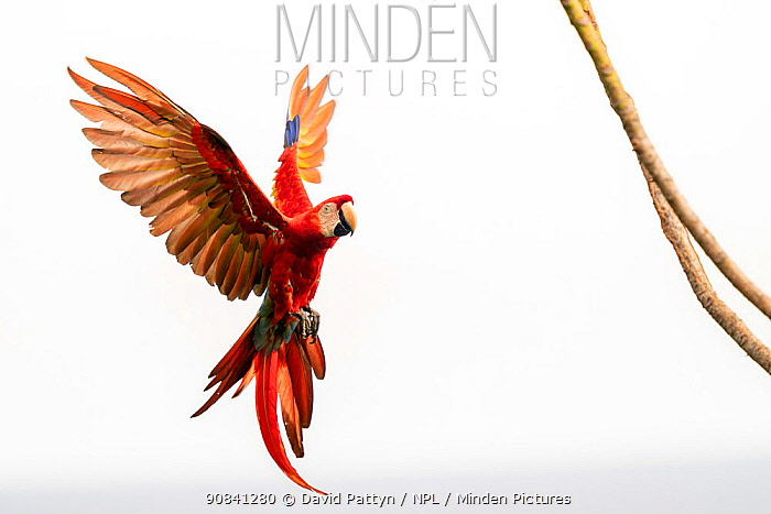 Scarlet Macaw (Ara macao) in flight and breaking to land Corcovado National Park, Osa peninsula, Costa Rica