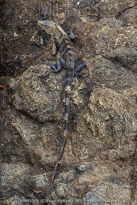 Black Spiny-tailed Iguana (Ctenosaura similis) on a rock Manuel Antonio National Park, Costa Rica