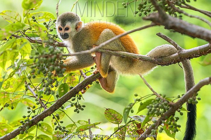 Black-crowned Central American squirrel monkey (Saimiri oerstedii) in a tree Manuel Antonio National Park, Quepos, Costa Rica