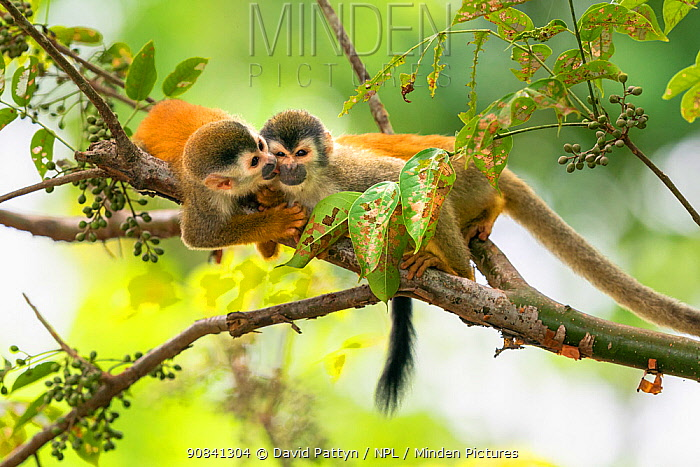 Black-crowned Central American squirrel monkey (Saimiri oerstedii) pair playing with each other Manuel Antonio National Park, Quepos, Costa Rica