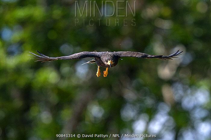 Common Black Hawk (Buteogallus anthracinus) in flight Tarcoles, Costa Rica