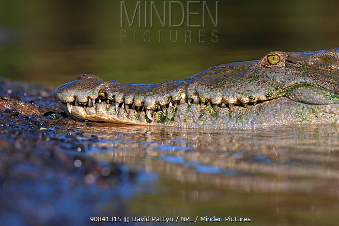 American crocodile (Crocodylus acutus) close-up at the edge of the Rio Tarcoles, Costa Rica
