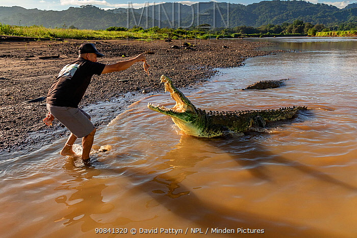 American crocodile (Crocodylus acutus) attracted with bait as a tourist attraction in the Rio Tarcoles, Costa Rica