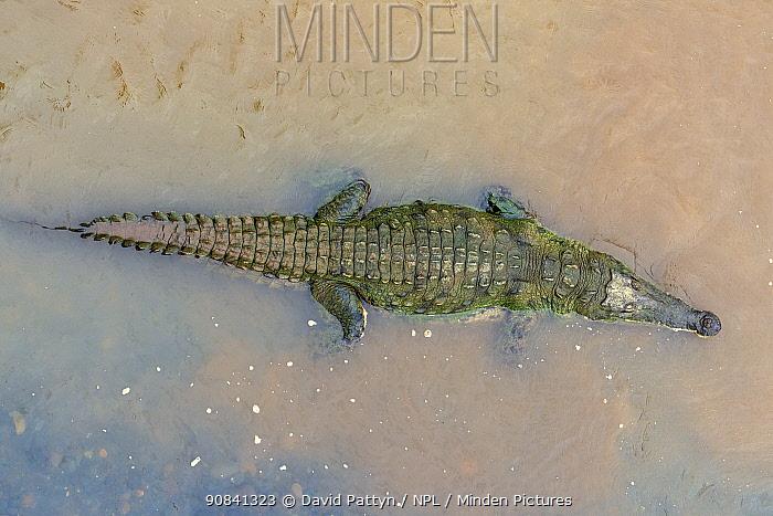 American crocodile (Crocodylus acutus) in the Rio Tarcoles, Costa Rica