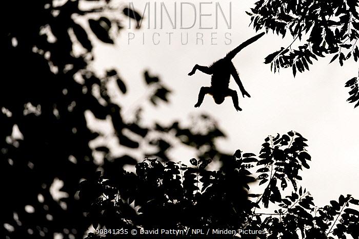 Mantled howler monkey (Alouatta palliata) silhouet jumping from tree to tree La Selva biological research station, Heredia, Costa Rica La Selva Biological research station, Heredia, Costa Rica.. July