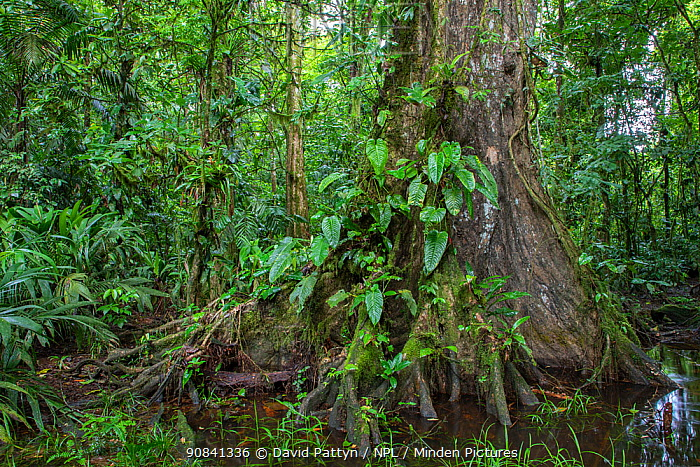 Old tree in a swamp in Lowland rainforest habitat la Selva Biological research station, Heredia, Costa Rica