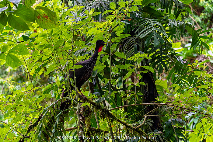 Crested guan (Penelope purpurascens) in a tree La Selva Biological Research Station, Heredia, Costa Rica