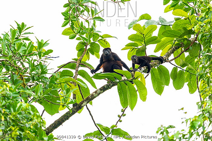 Mantled howler monkey (Alouatta palliata) female and young in tree, La Selva Biological research station, Heredia, Costa Rica