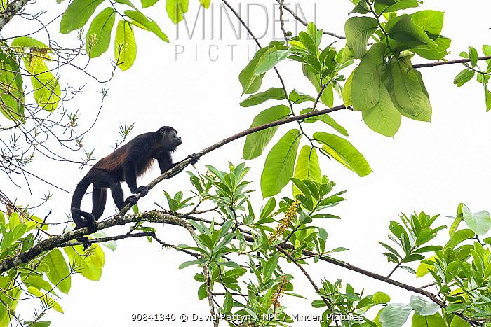 Mantled howler monkey (Alouatta palliata) in tree, La Selva Biological research station, Heredia, Costa Rica
