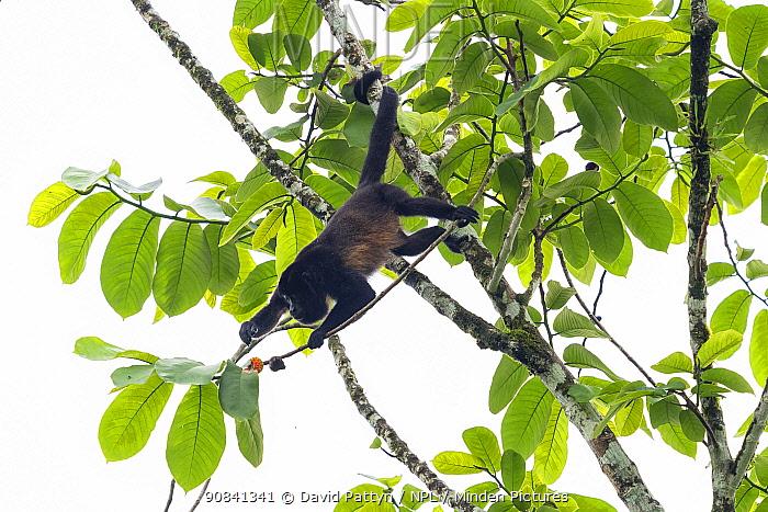 Mantled howler monkey (Alouatta palliata) foraging for fruit in tree, La Selva Biological research station, Heredia, Costa Rica