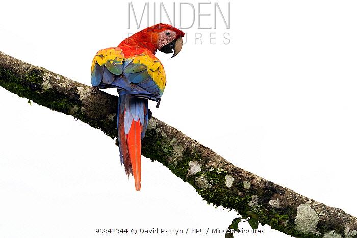 Scarlet macaw (Ara macao) in a tree Heredia province, Costa Rica