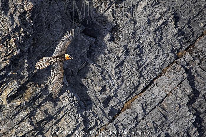 Lammergeier or Bearded Vulture (Gypaetus barbatus) in flight in front of a vertical mountain side Leukerbad, Wallis, Valais, Switzerland, March